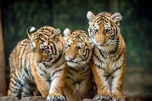 Watch HBS Tiger Cub News